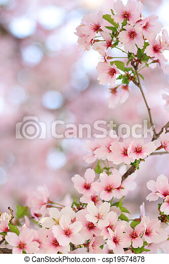 Pink springtime sakura blossoms with a blurred background - csp19574878