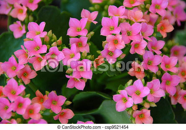 Tiny pink succulent flowers in bloom in spring pink succulent flower csp9521454 mightylinksfo
