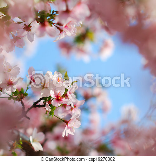 Pink tree blossoms blooming in colorful springtime - csp19270302