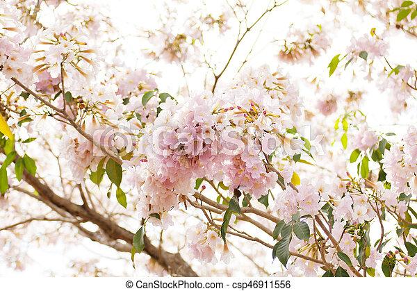 Pink trumpet tabebuia rosea flower pink trumpet tabebuia rosea flower csp46911556 mightylinksfo