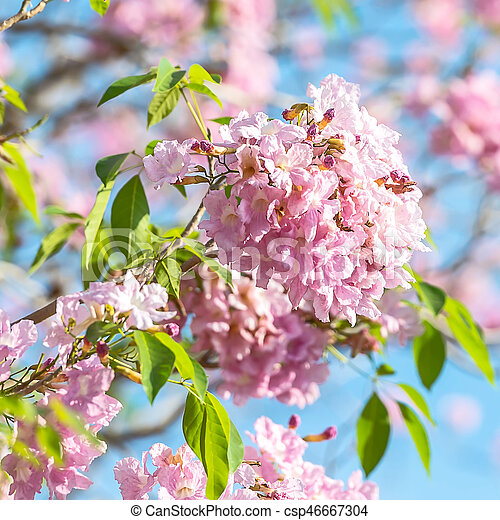 Pink trumpet tree pink trumpet tree tabebuia is a genus of pink trumpet tree csp46667304 mightylinksfo