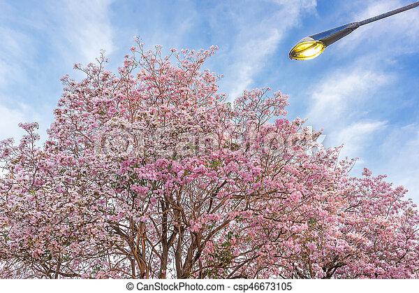 Pink trumpet tree pink trumpet tree tabebuia is a genus of pink trumpet tree csp46673105 mightylinksfo