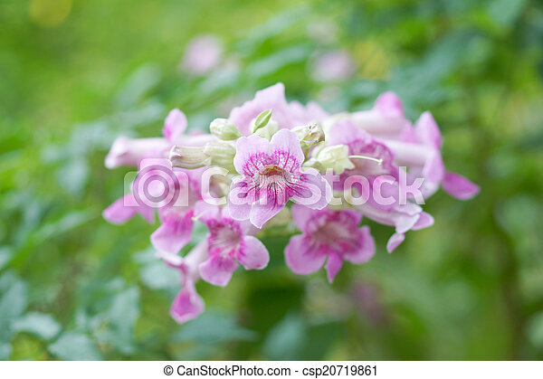 Pink trumpet vine flower stock image search photos and photo clip pink trumpet vine flower csp20719861 mightylinksfo