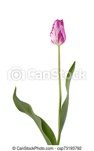 Pink tulip flower, isolated on white background - csp73193792