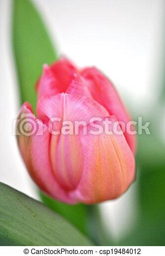 Pink tulip - csp19484012