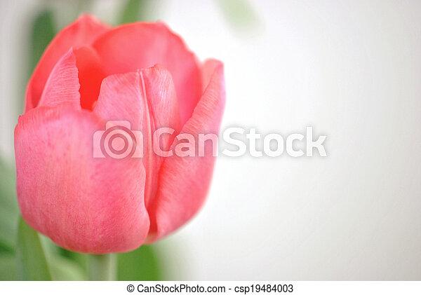 Pink tulip - csp19484003