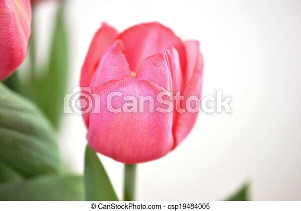 Pink tulip - csp19484005
