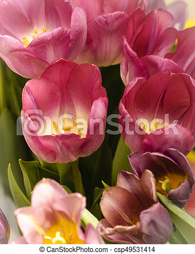 Pink tulips for the spring garden - csp49531414