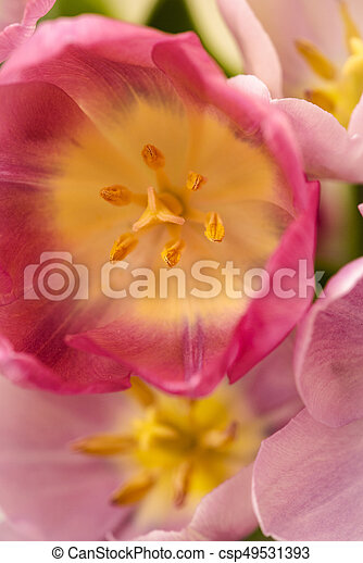 Pink tulips for the spring garden - csp49531393
