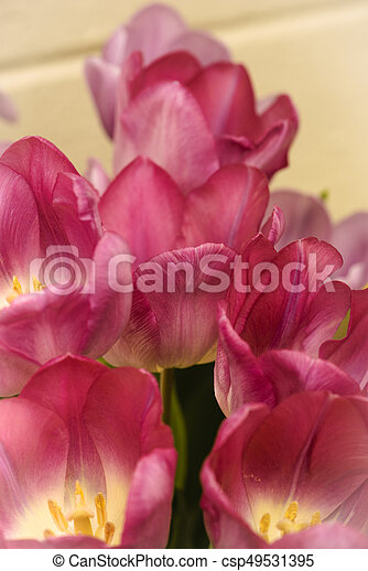 Pink tulips for the spring garden - csp49531395