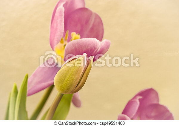 Pink tulips for the spring garden - csp49531400