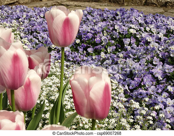 Pink Tulips in a Garden - csp69007268
