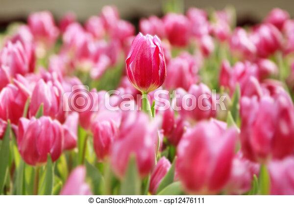 pink tulips in the garden - csp12476111
