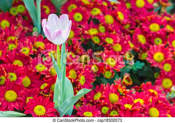 pink tulips in the garden - csp18302073