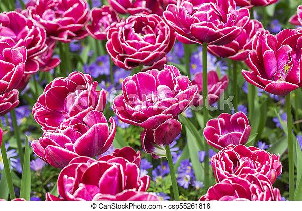 pink tulips in the garden - csp55261816