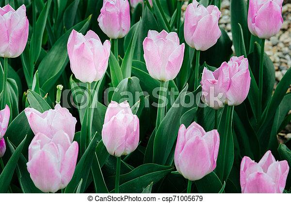 pink tulips in the garden - csp71005679