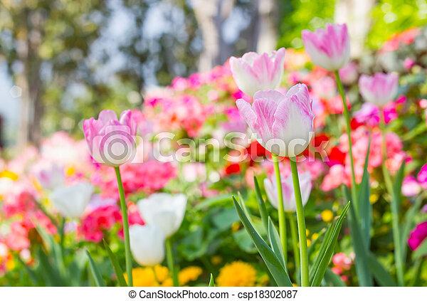 pink tulips in the garden - csp18302087