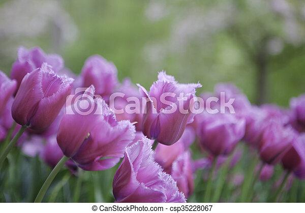 pink tulips in the garden - csp35228067