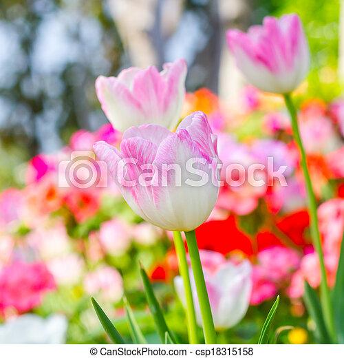 pink tulips in the garden - csp18315158