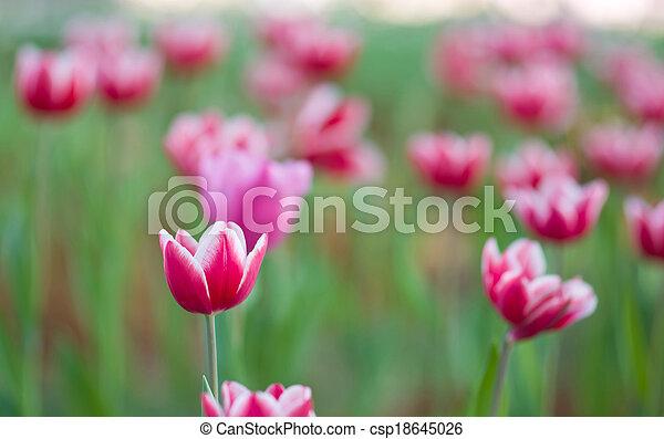Pink tulips in the garden - csp18645026