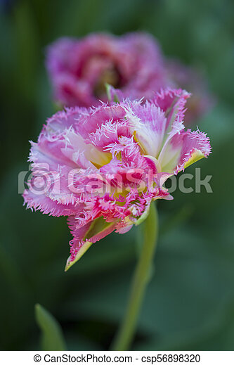 Pink tulips in the garden - csp56898320