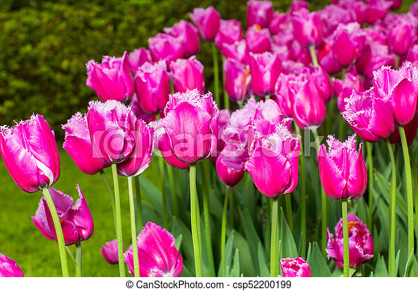 pink tulips in the garden - csp52200199