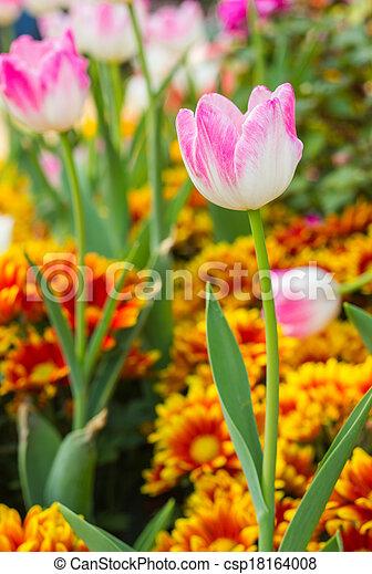 pink tulips in the garden - csp18164008