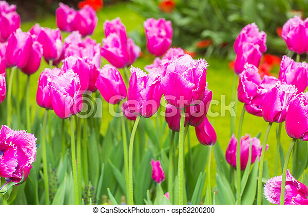 pink tulips in the garden - csp52200200