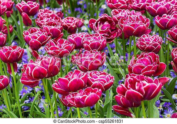 pink tulips in the garden - csp55261831