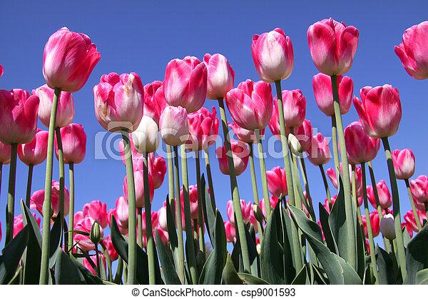 pink tulips in the garden - csp9001593
