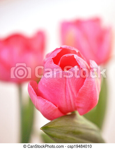 Pink tulips - csp19484010