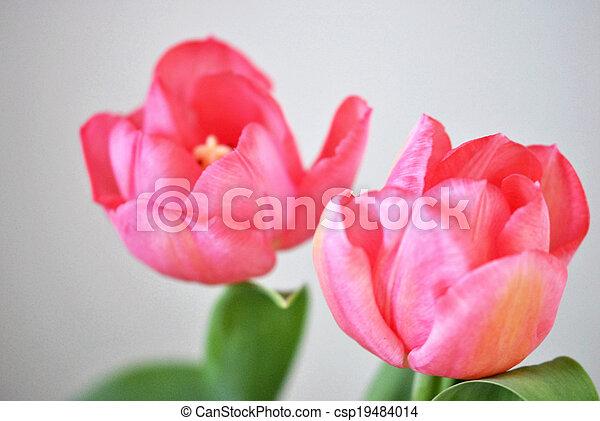 Pink tulips - csp19484014