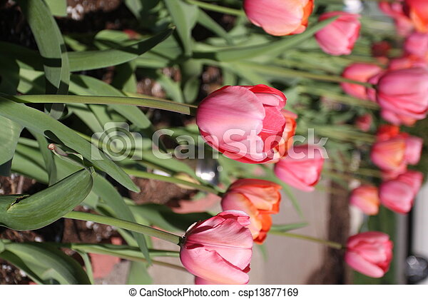 Pink Tulips - csp13877169