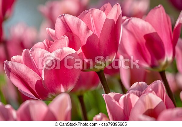 Pink Tulips - csp79395665