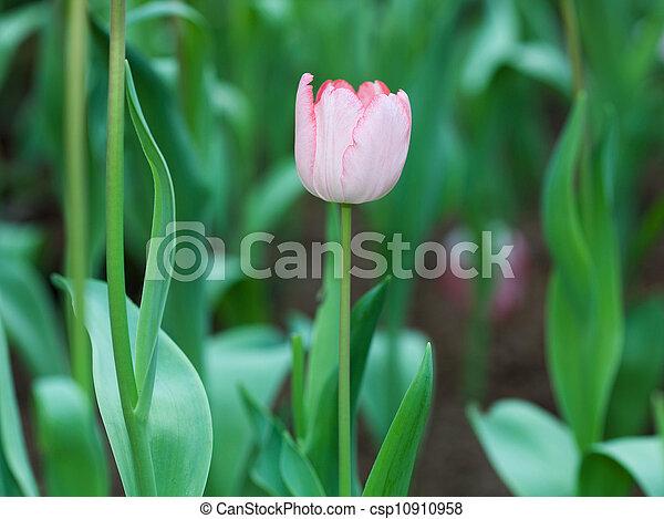 Pink tulips - csp10910958