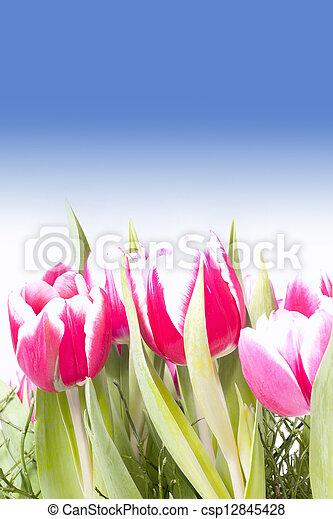 Pink tulips - csp12845428