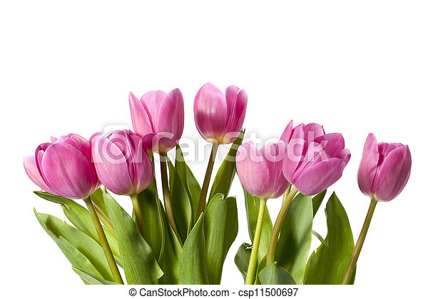 pink tulips - csp11500697