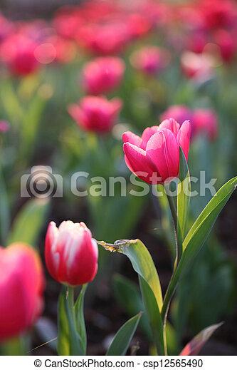 Pink Tulips - csp12565490