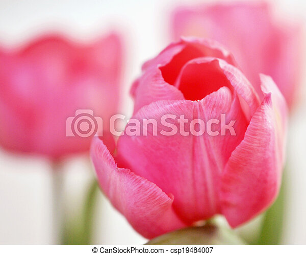 Pink tulips - csp19484007