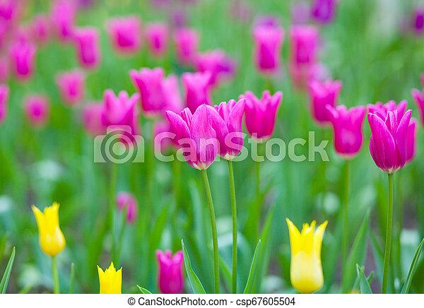 Pink tulips - csp67605504