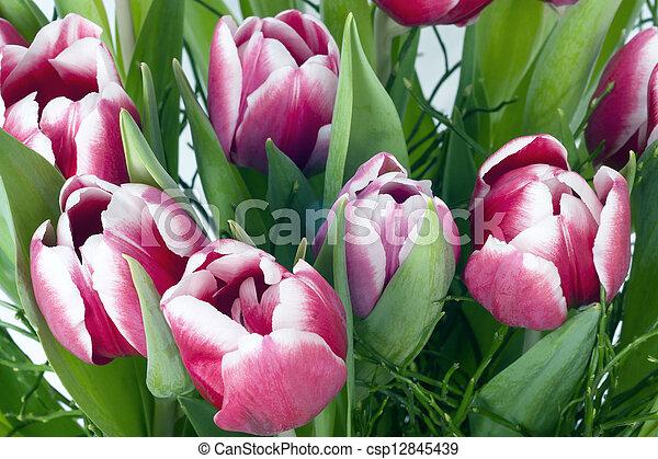 Pink tulips - csp12845439