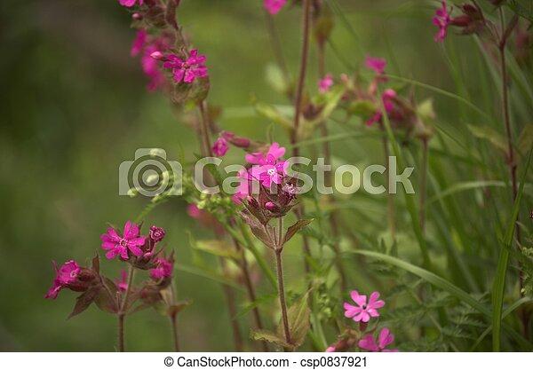 Pink Verbena Flower - csp0837921