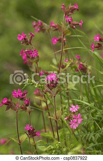 Pink Verbena Flower - csp0837922