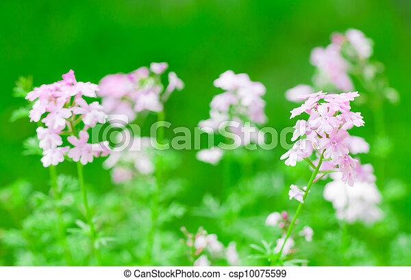 pink verbena flower - csp10075599
