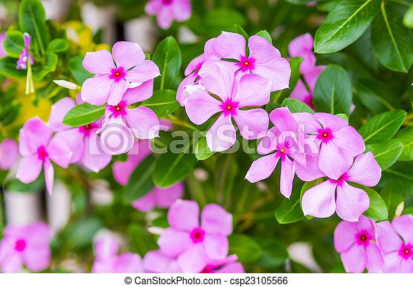 Pink vinca flowersmadagascar periwinkle mightylinksfo