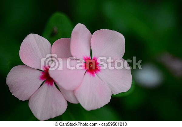 Pink vinca periwinkle flower in bloom in spring pink vinca periwinkle flower csp59501210 mightylinksfo