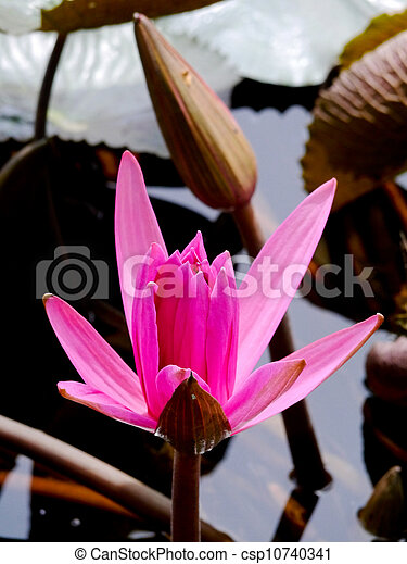 Pink water lily flower lotus flower is a important symbol in buddha pink water lily flower lotus flower is a important symbol in buddha religion mightylinksfo