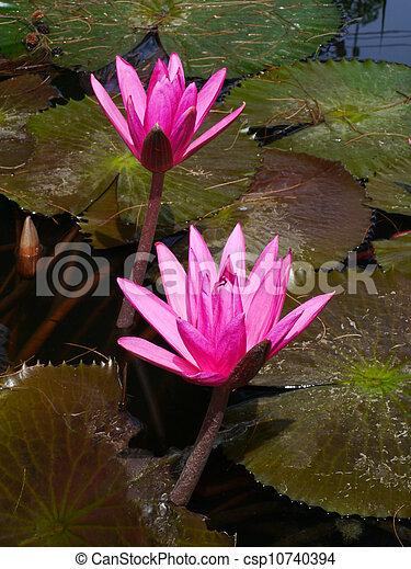 Pink water lily flower lotus flower is a important symbol in buddha pink water lily flower lotus flower is a important symbol in buddha religion mightylinksfo