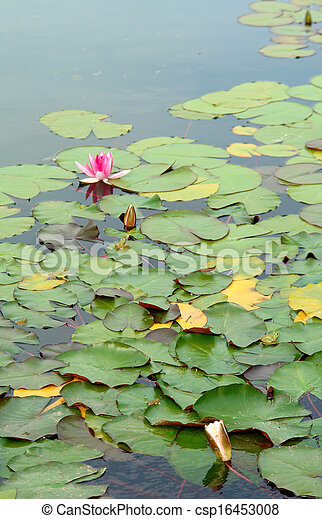 Pink water lily green leaves (Species: Nymphaea Masaniello) - csp16453008