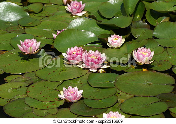 pink water lily growing in a lake - csp22316669